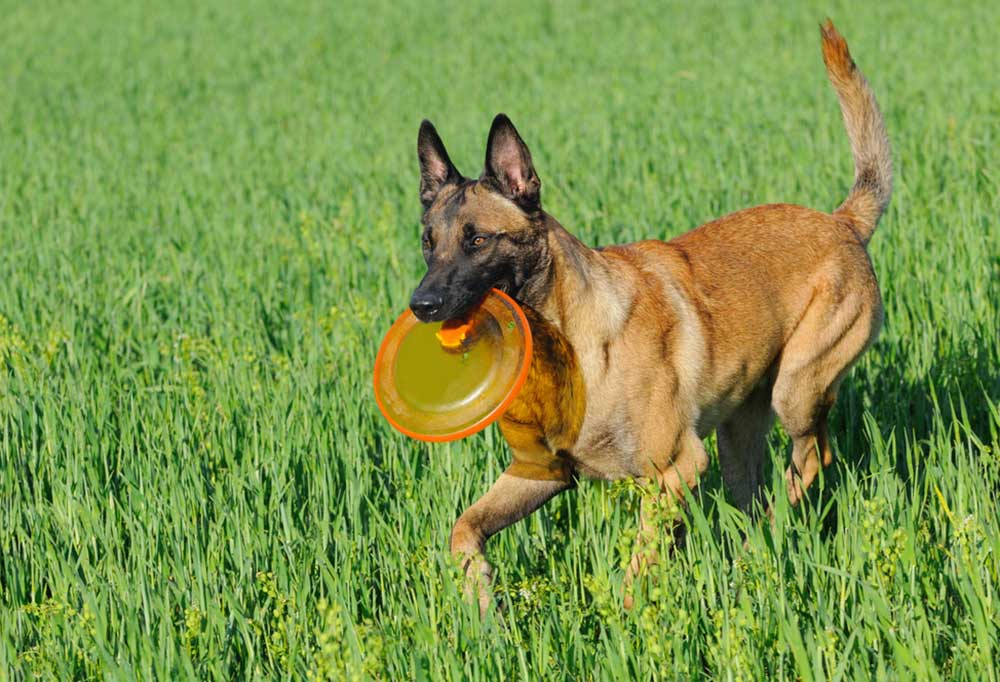 Belgian Malinois playing frisbee in grass field