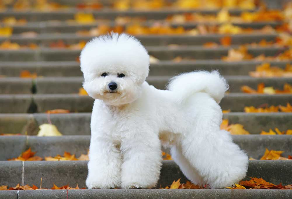 Bichon Frise standing on leaf covered stairs