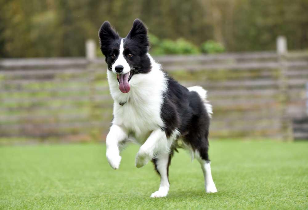 Border Collie running in grassy field