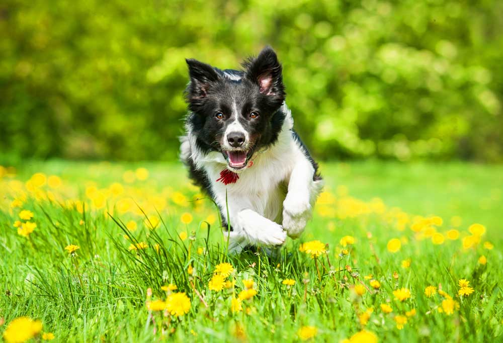 Border Collies running though field of yellow flowers