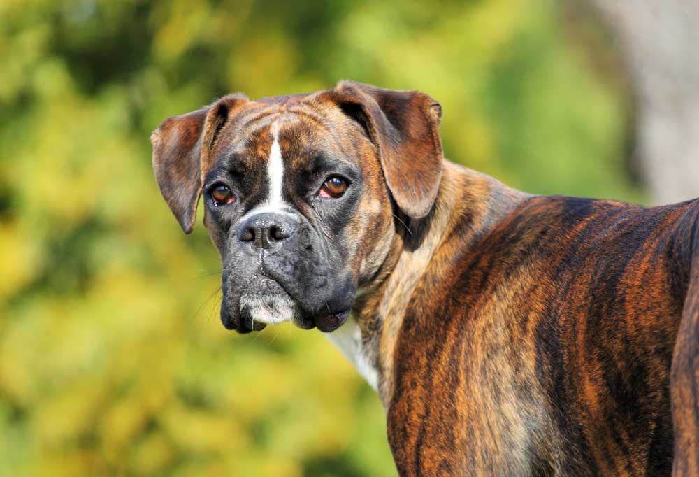 Portrait of a Boxer dog outside in nature
