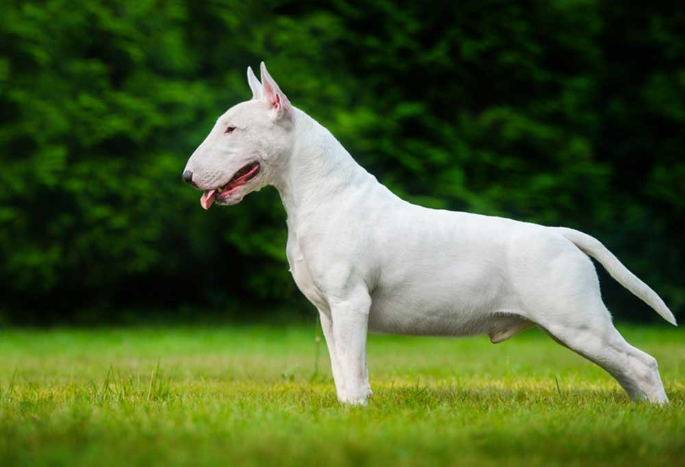 side view of Bull Terrier standing in grass field