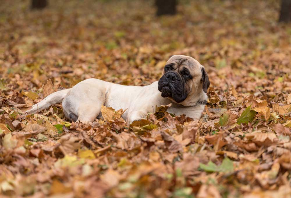 Bullmastiff rolling in leaves