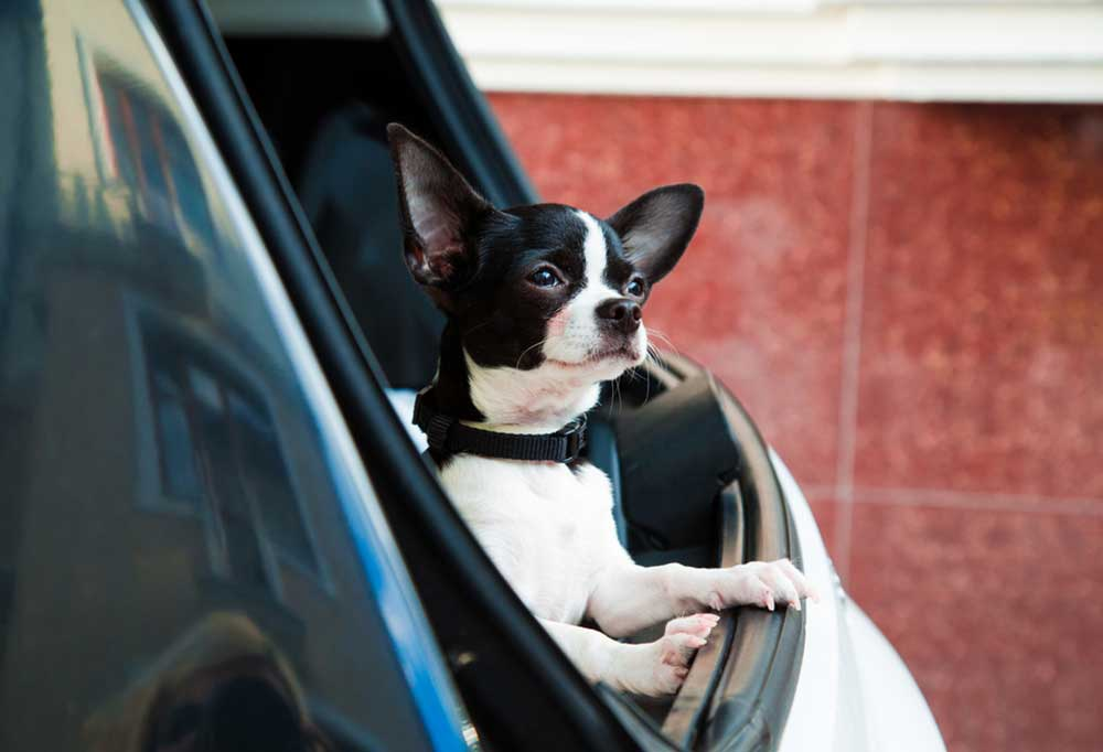 Chihuahua leaning out of car window