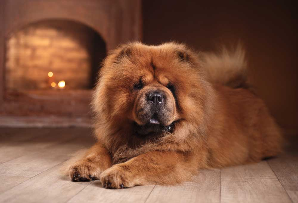 Chow Chow laying on hardwood floor in front of fireplace