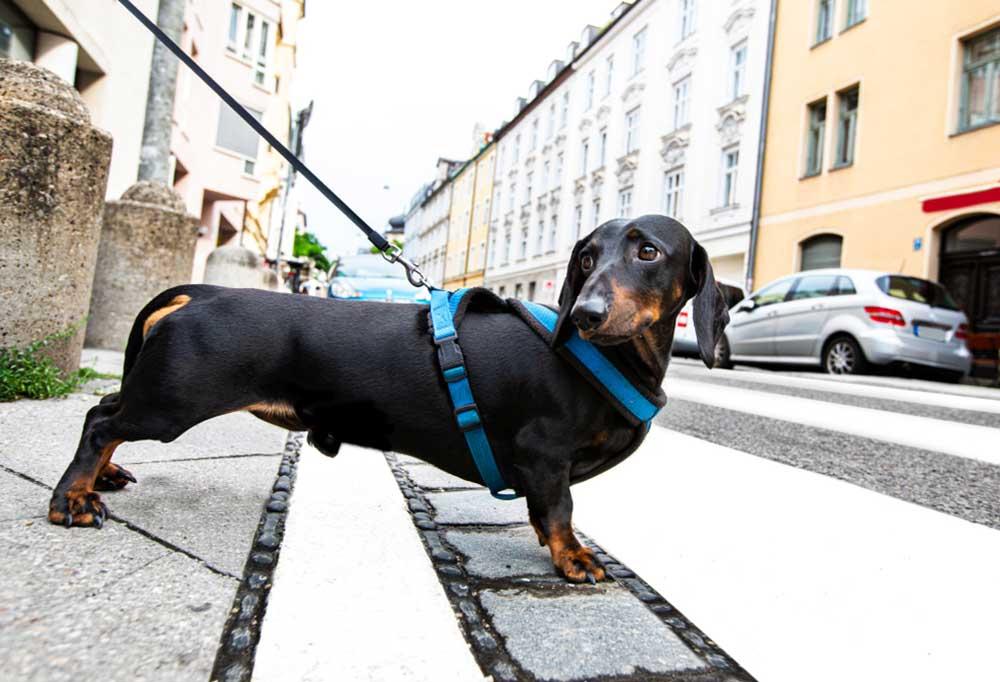 Dachshund in a harness and leash on a city sidewalk
