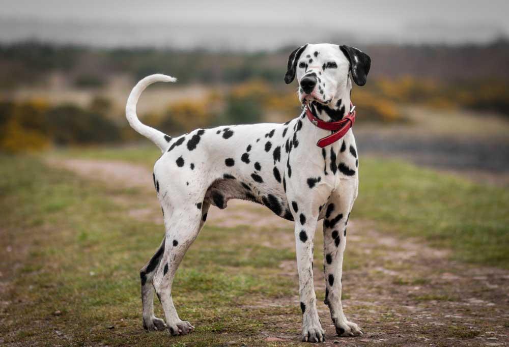 Dalmatian on grassy hill