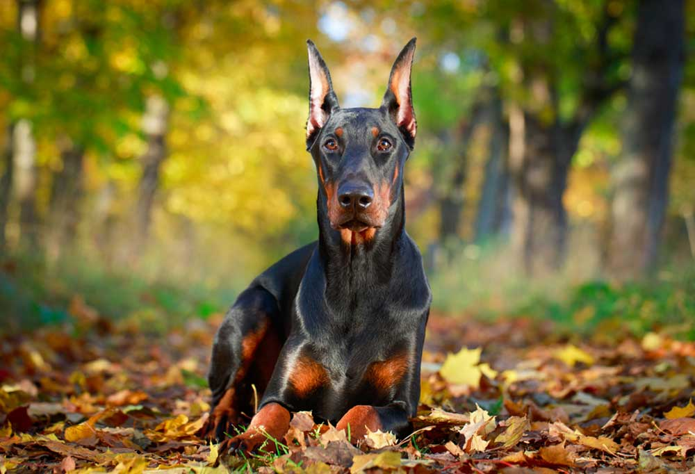 Doberman Pinscher laying on leaf covered trail