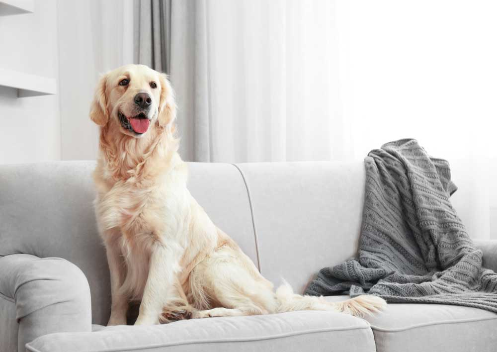 golden retriever on couch