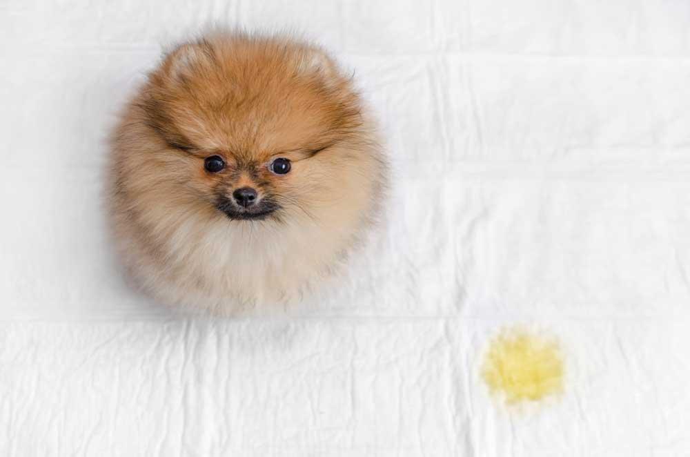 Pomeranian on pee pad