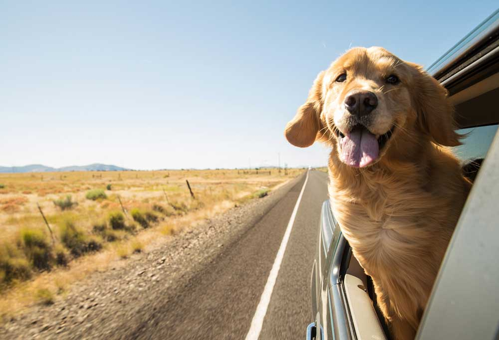 Golden Retriever riding in a car with head stuck out of window