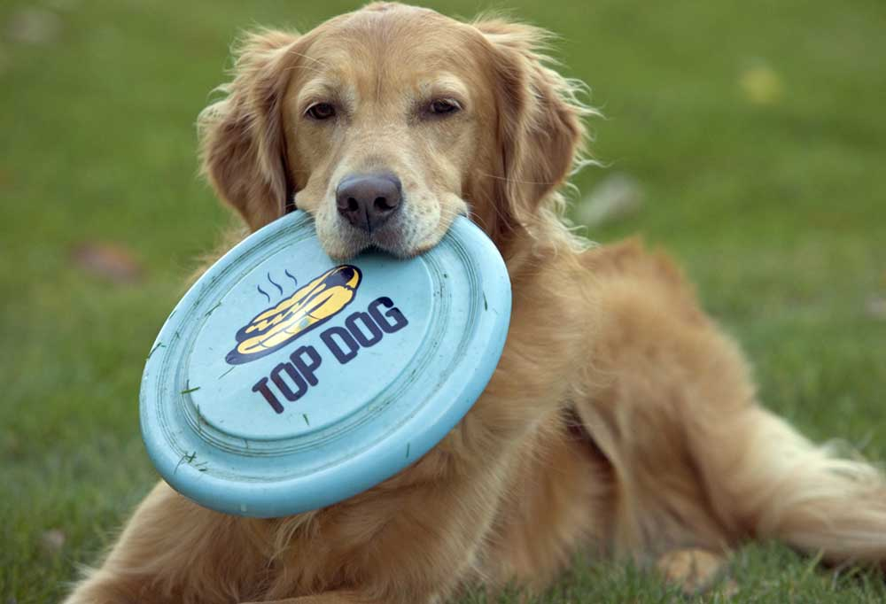 Golden Retrievers laying in grass with blue frisbee in mouth