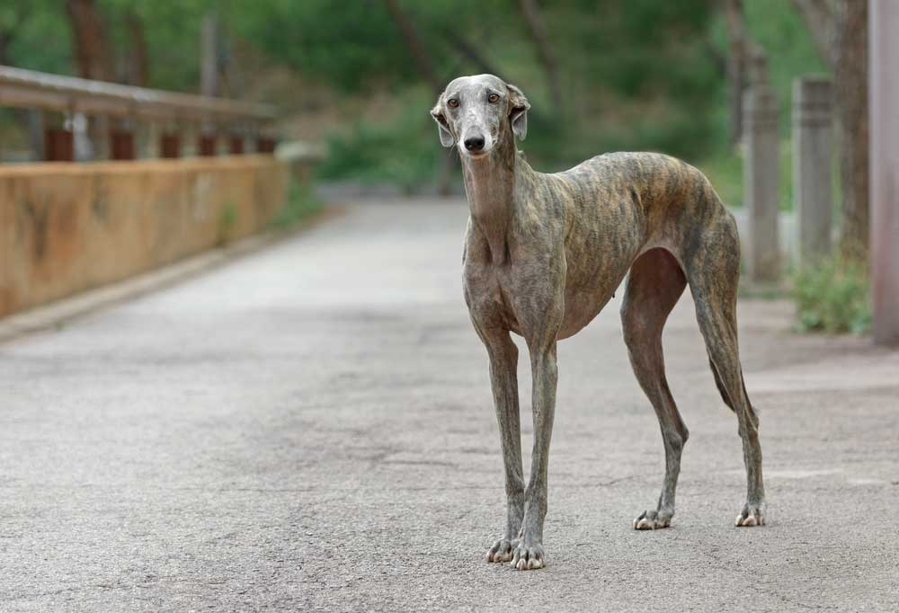 Greyhound standing on roadway