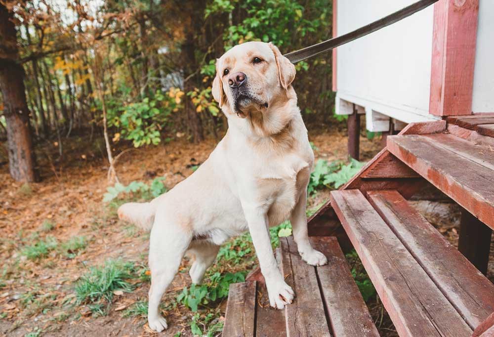 Labrador retriever going up stairs into house