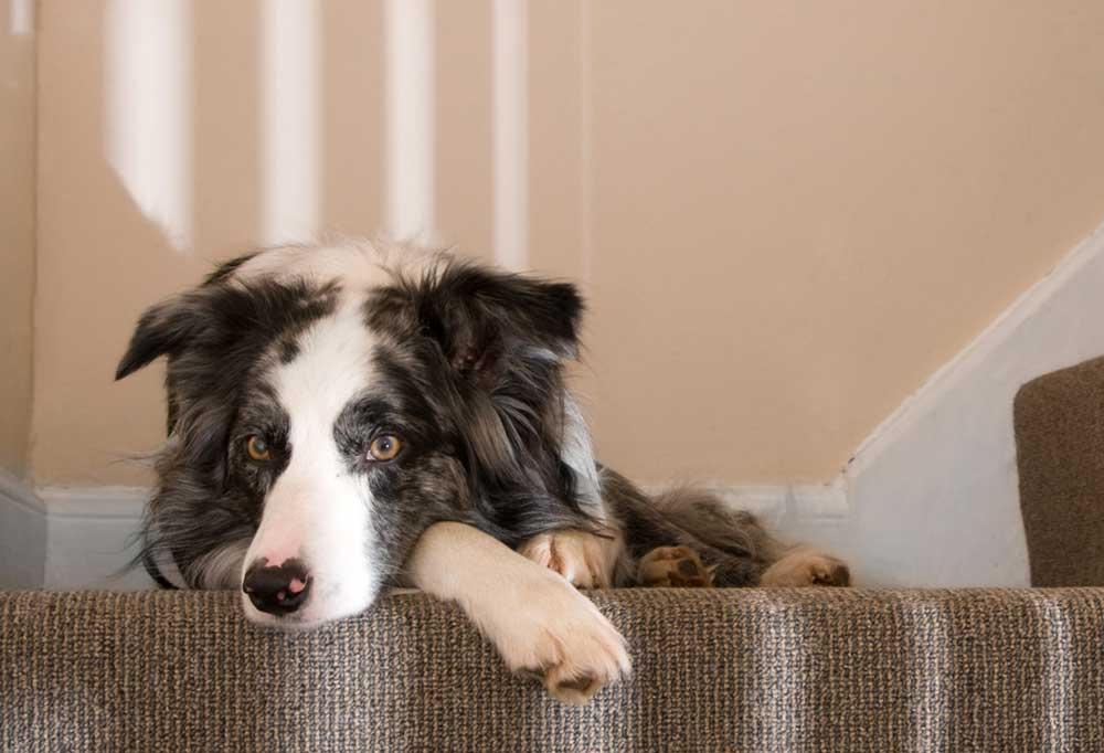 Sheepdog laying on stair landing