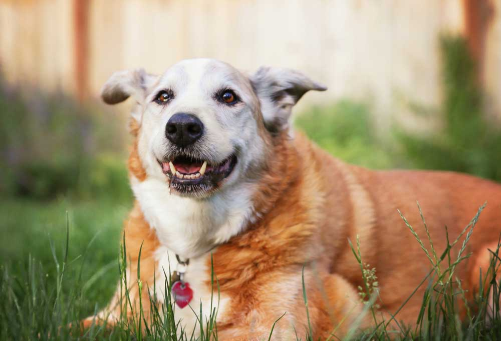 Senior dog laying outdoors in grass