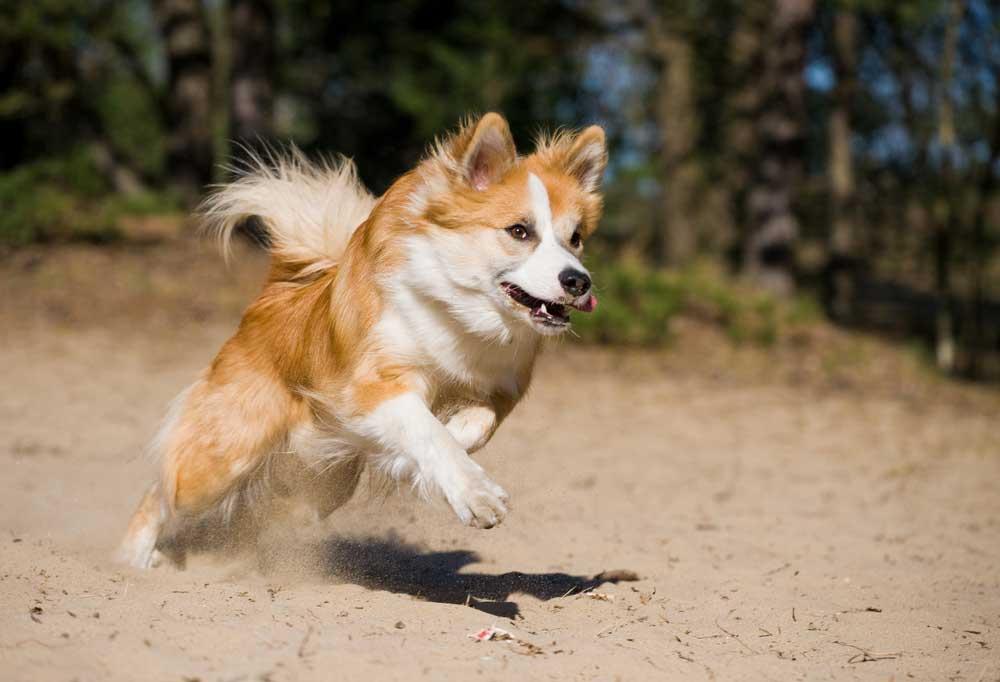 Icelandic Sheepdog jumping in sand