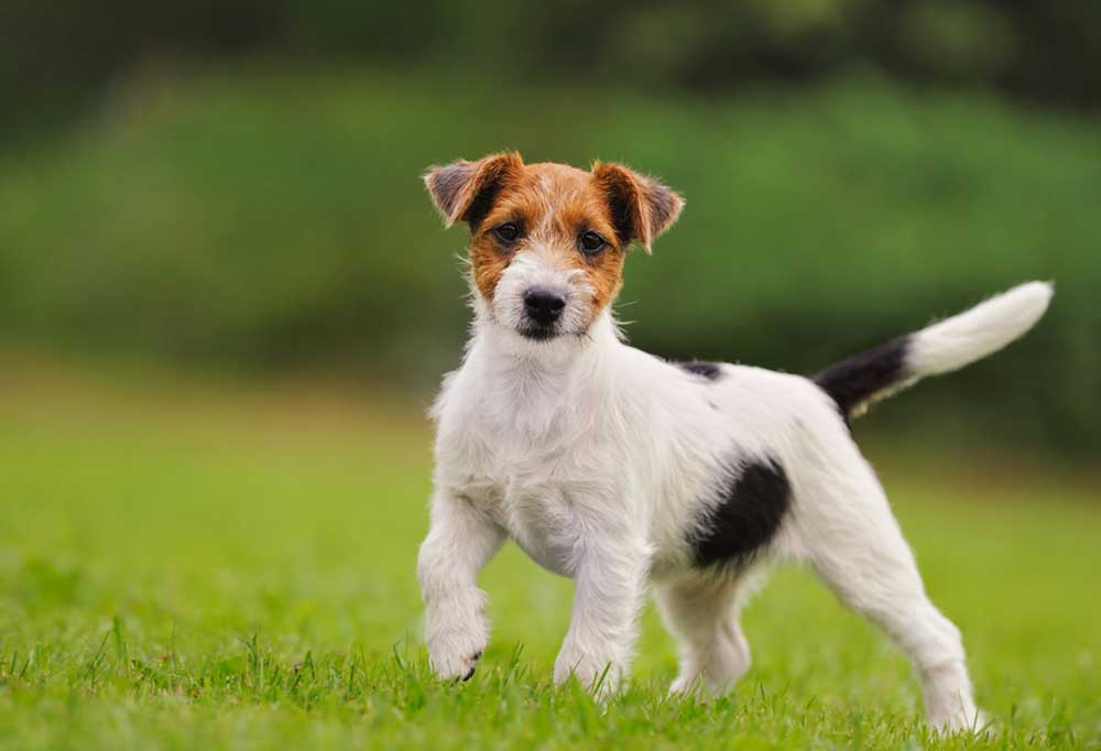 Jack Russell terrier standing in grass