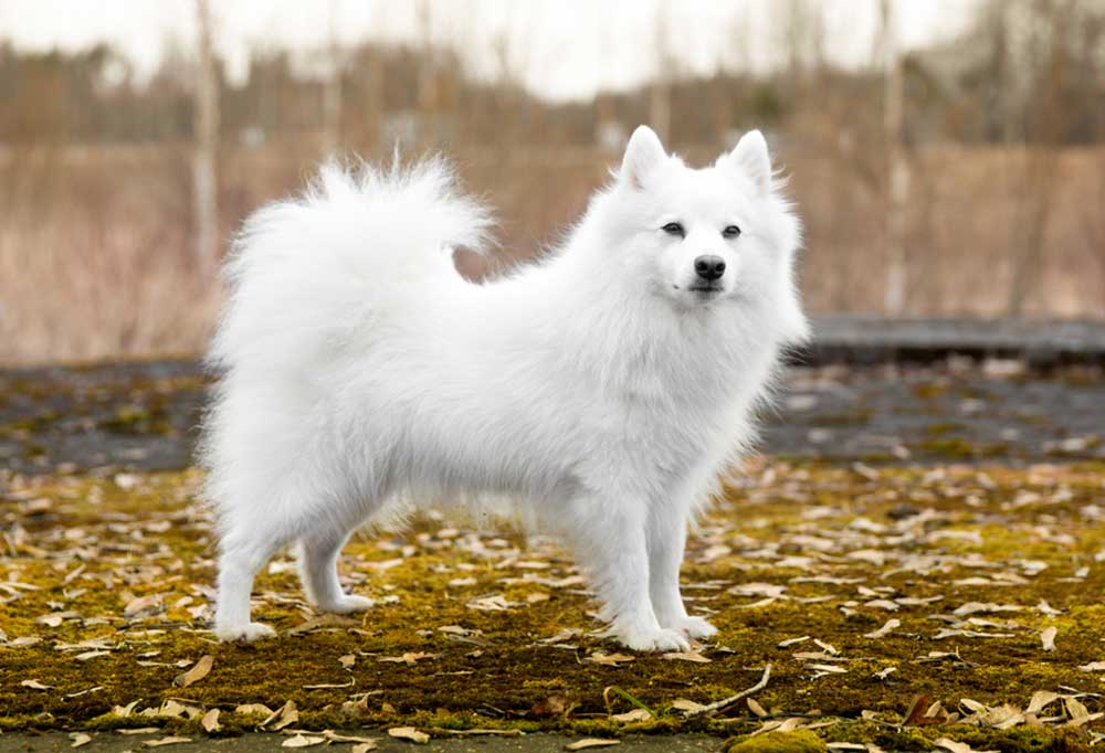 Japanese Spitz standing on leaf covered ground