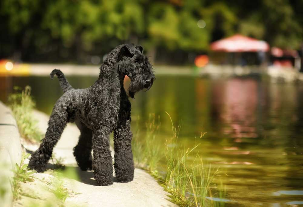 Kerry Blue Terrier standing on path next to pond