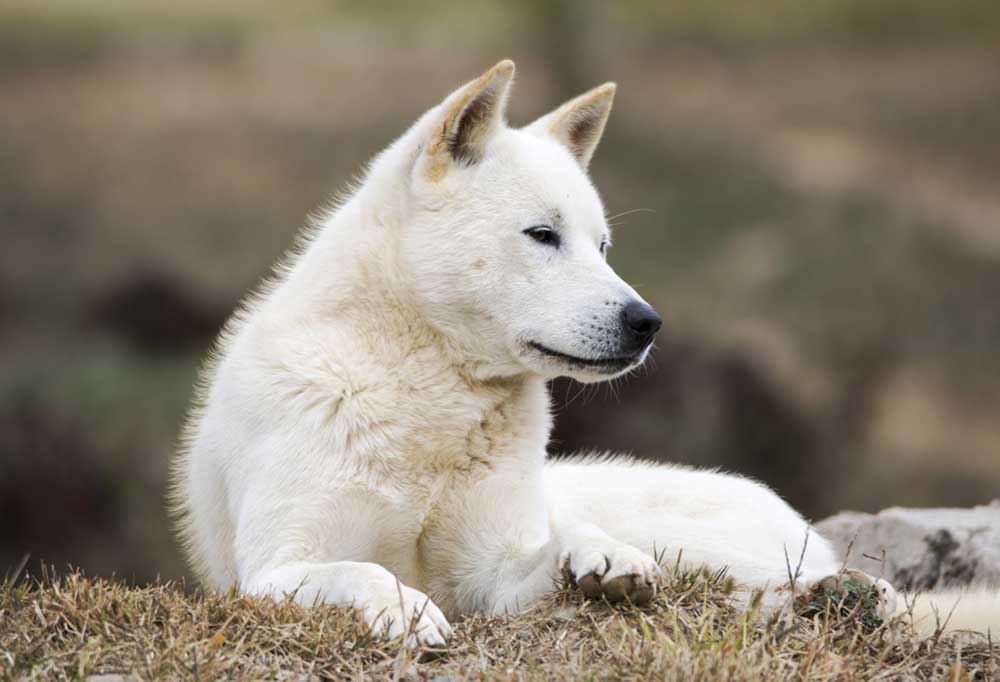 Korean Jindo laying down in grass in nature setting