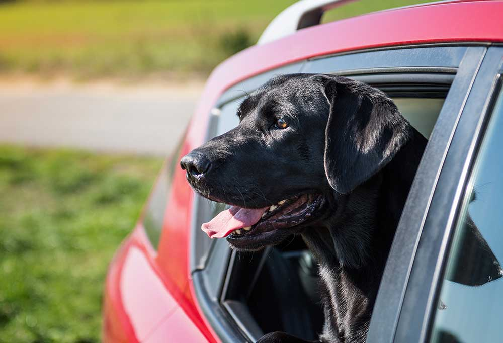 Labrador Retriever with head poking out of back window of red car