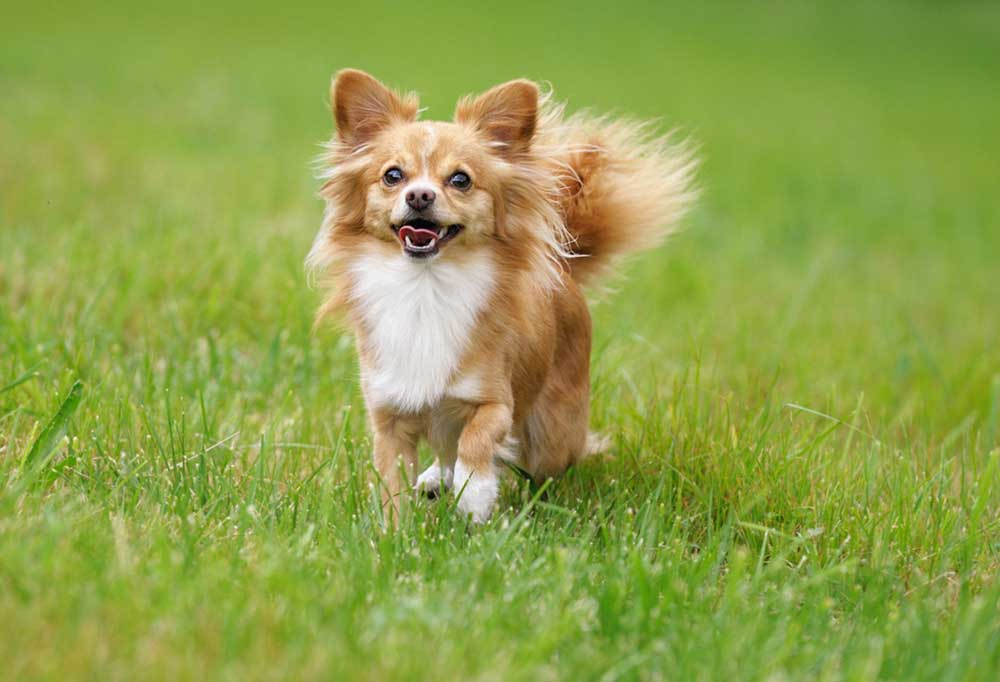 Long-Haired Chihuahua walking in grass