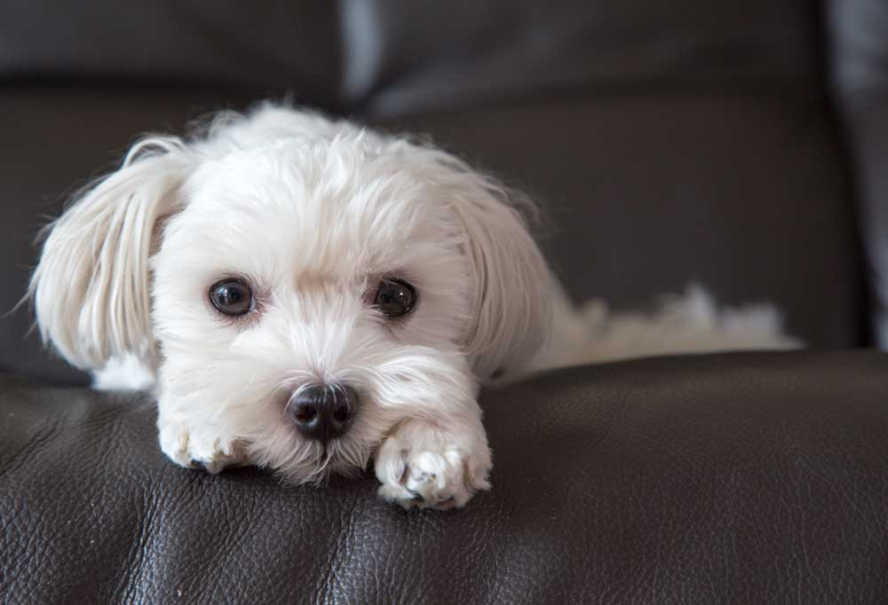 Maltese laying on couch