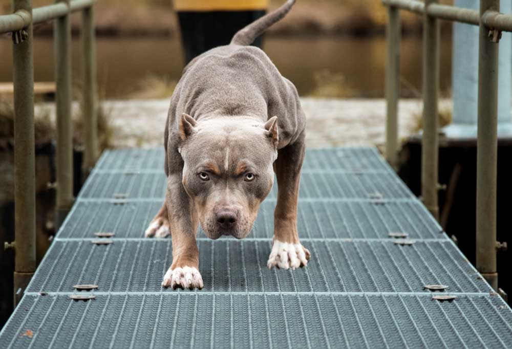 Pitbull Terrier walking on boardwalk with head down as if it will attack.
