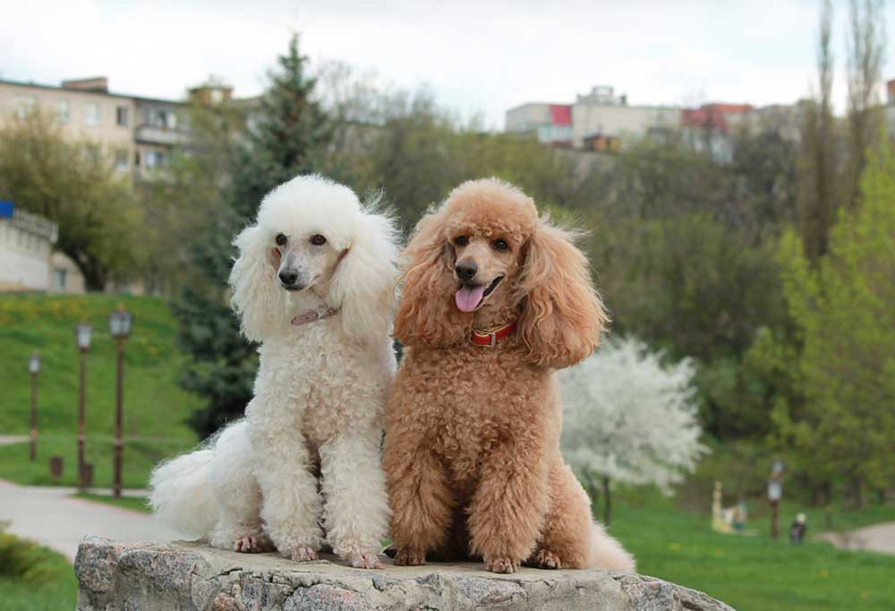 A pair of Poodles sitting on a  large rock