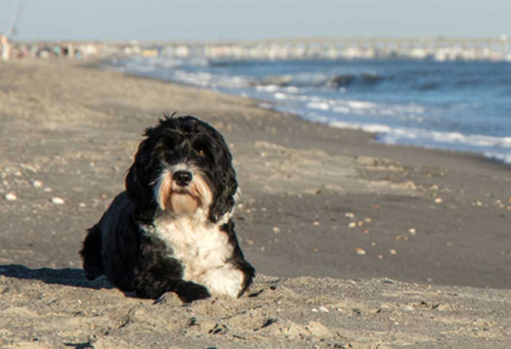 Portuguese Water Dog laying on a beach