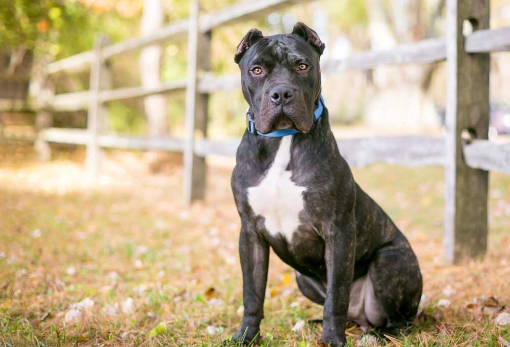 Presa Canario sitting in grass next to wooden fence