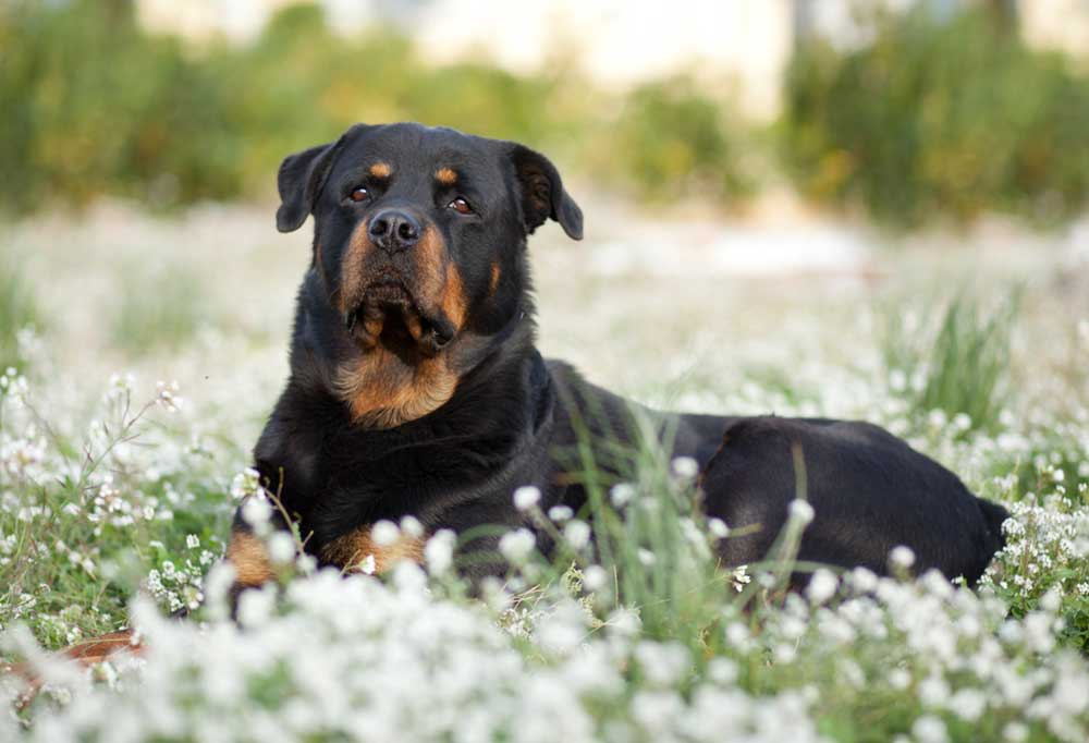 Rottweiler laying in field of flowers