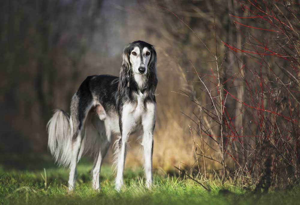 Saluki standing at edge of wooded area