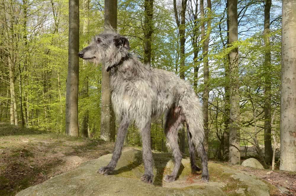 Scottish Deerhound