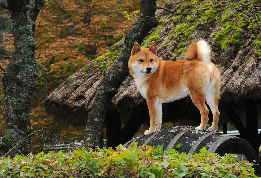 Shiba Inu standing on wooden barrel next to thatch covered roof