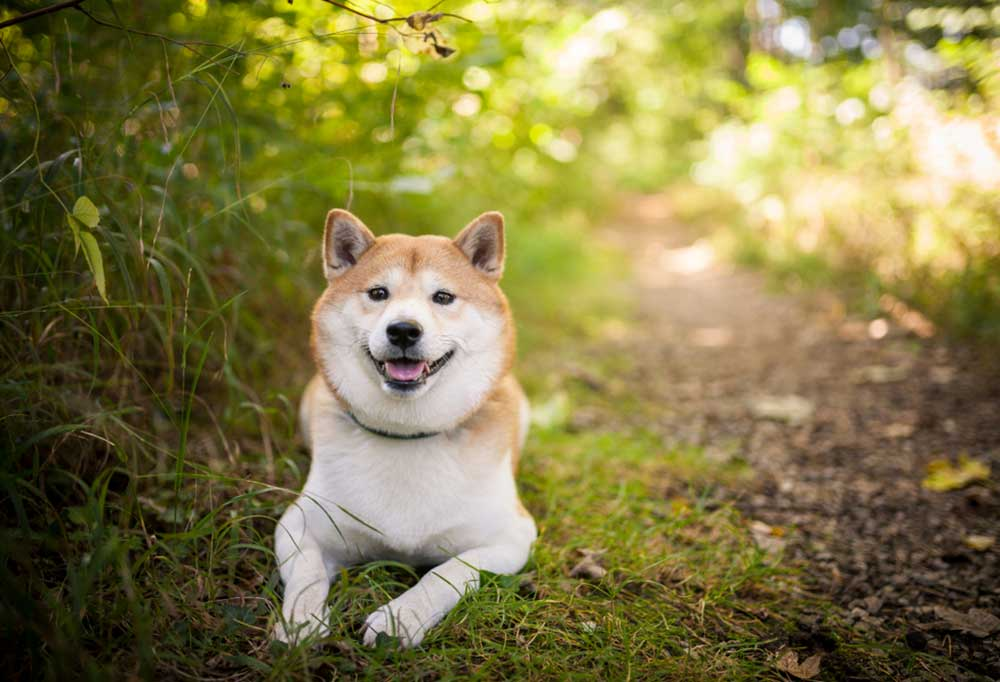 Shiba Inu laying on wooded trail