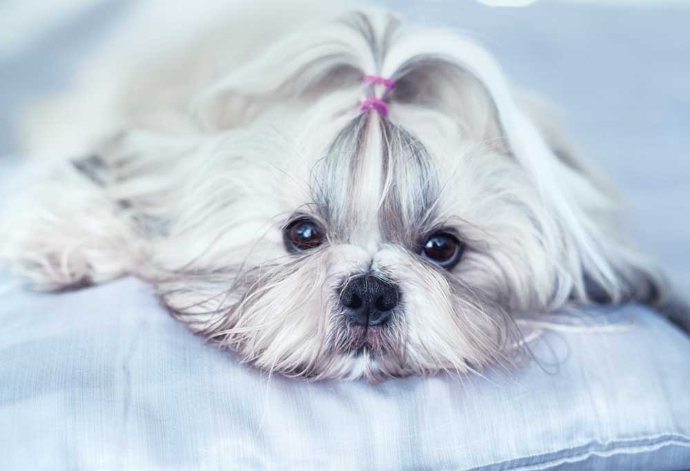Shih Tzu with hair in a pony tail on top laying on a pillow