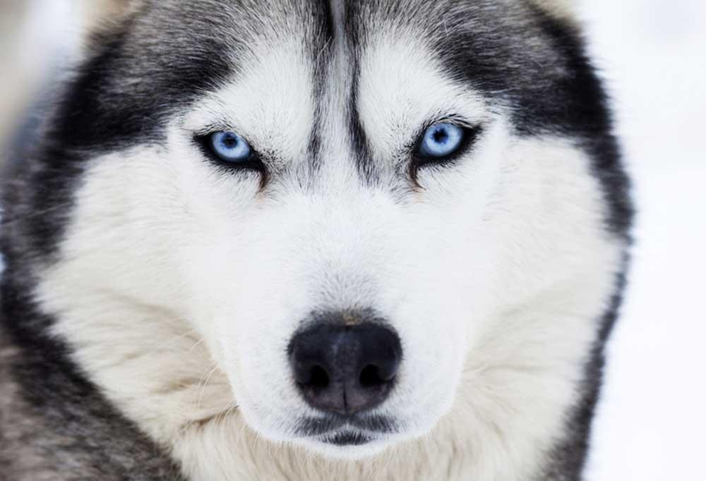 Close up of a  Siberian Husky's face