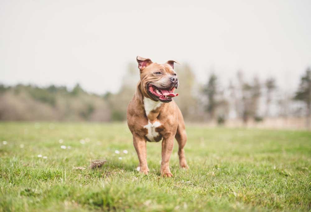 Staffordshire Bull Terrier standing in grass