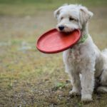 Small white dog with a red frisbee in mouth