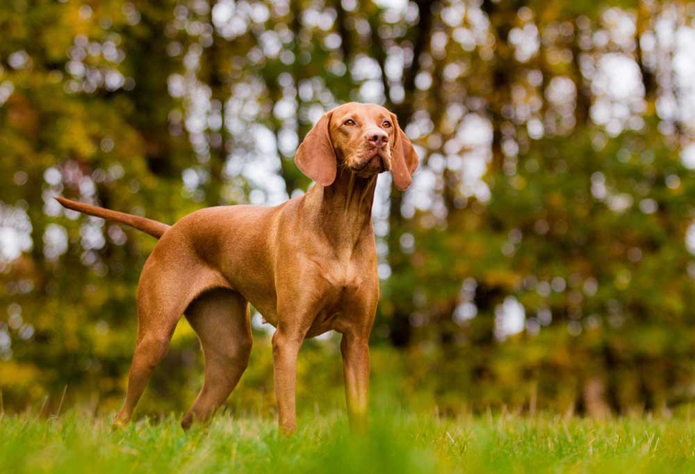 Vizsla standing at edge of wooded area