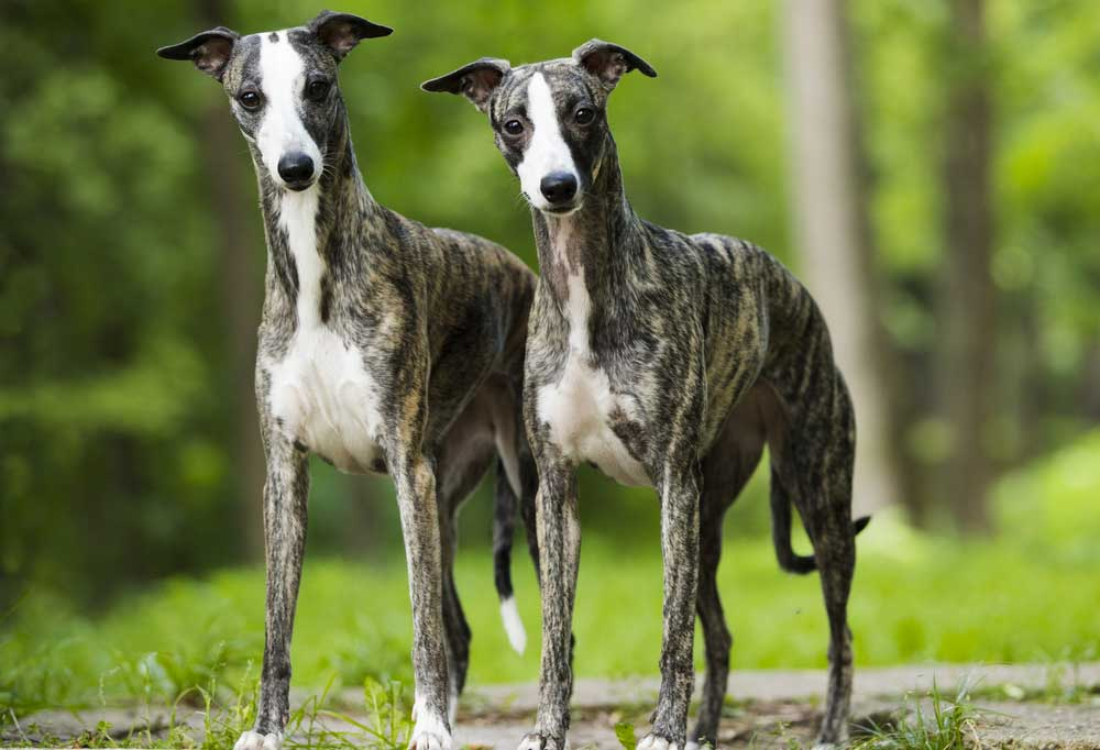 a pair if Whippets standing in grass