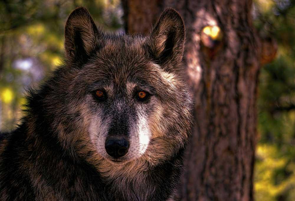 Wolf Hybrid standing next to tree