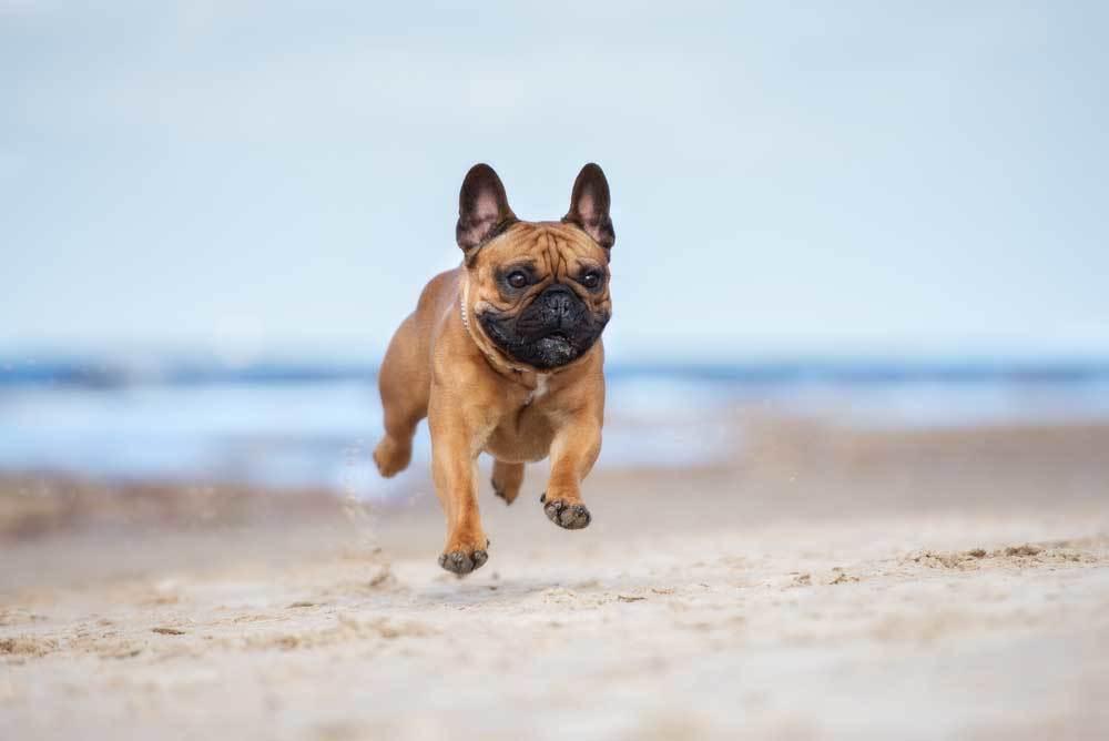 pug running on beach