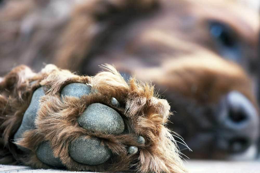 close up of dog paw