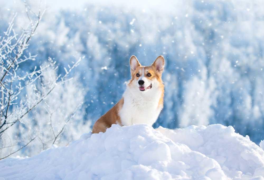 Corgi in snow