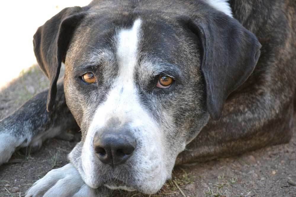close up of black and white dog with greying face