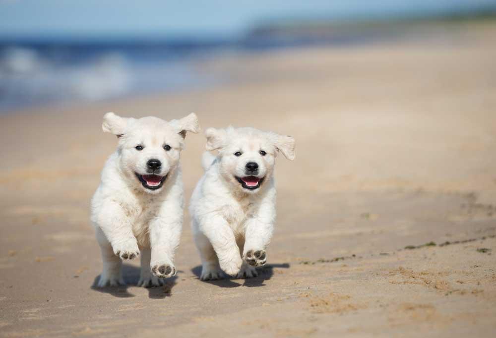 2 golden retriever puppies running on a beach