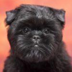 9 Dog Breeds that Stay Under 10 Pounds- Affenpinscher on pink and orange background